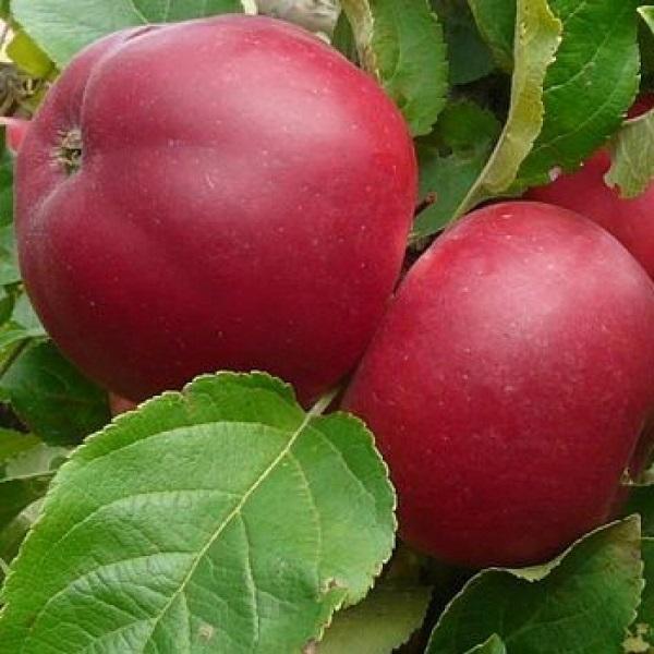 Яблоня кандиль