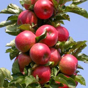 Колоновидная яблоня останкино посадка и уход