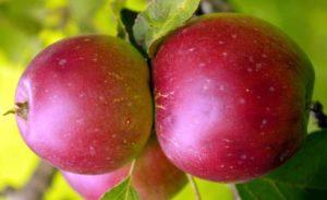 Яблоня коваленковское описание фото отзывы