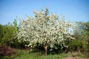Сорт яблони звездочка фото и описание сорта