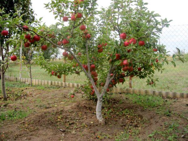 Яблоня посадка и уход в подмосковье