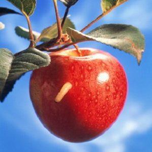 Червивые яблоки что делать