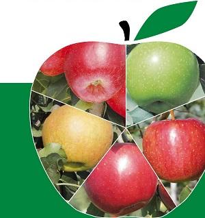Как узнать сорт яблок