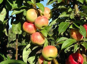 Колоновидная яблоня московское ожерелье описание фото отзывы