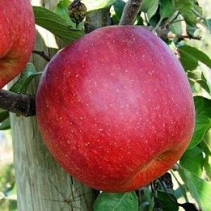 Яблоки чемпион где растут