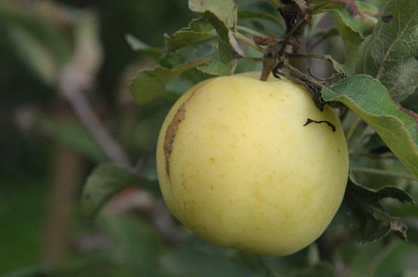 Яблоня добрый крестьянин описание фото отзывы