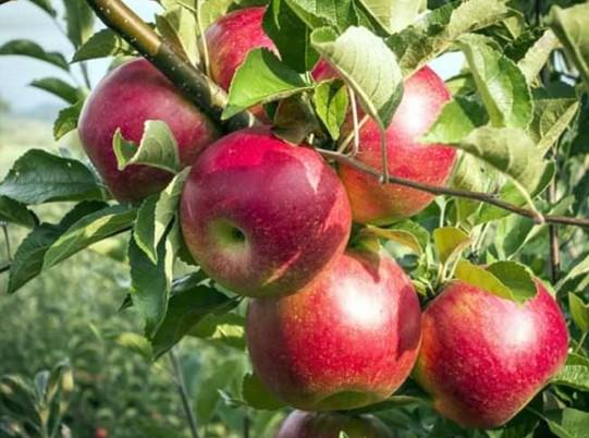 Яблоня беркутовская описание фото отзывы посадка