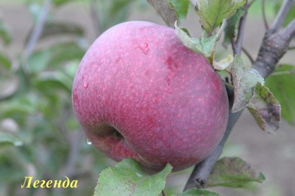 Яблоня сорт легенда описание отзывы