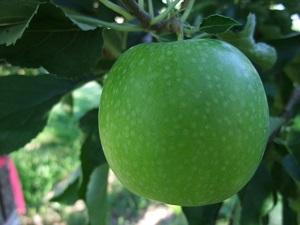 Яблоко гренни смит фото и описание