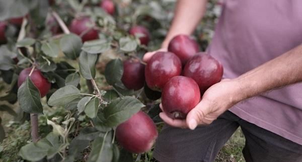 Яблони моди характеристика сорта