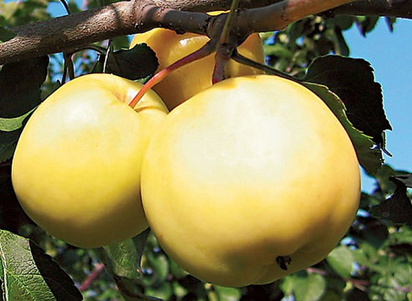Яблоня алтайское янтарное описание фото отзывы