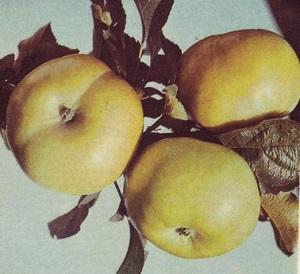 Яблоня бумажное описание сорта фото отзывы