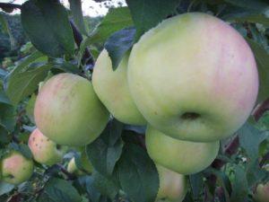 Яблоня фермер описание сорта фото отзывы