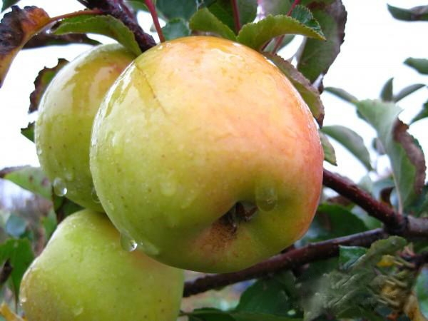 Яблоня дакота голд описание