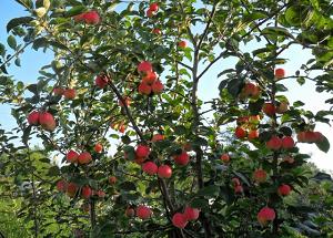 Карликовые яблони для сибири сорта фото