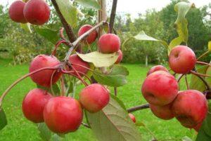 Яблоня китайка: сорта, выращивание и уход