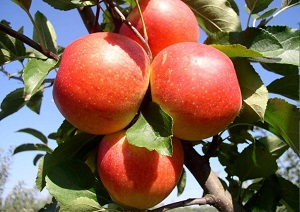 Яблоки созревающие в августе