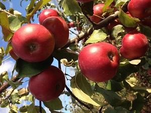 Лучшие зимние сорта яблонь для беларуси