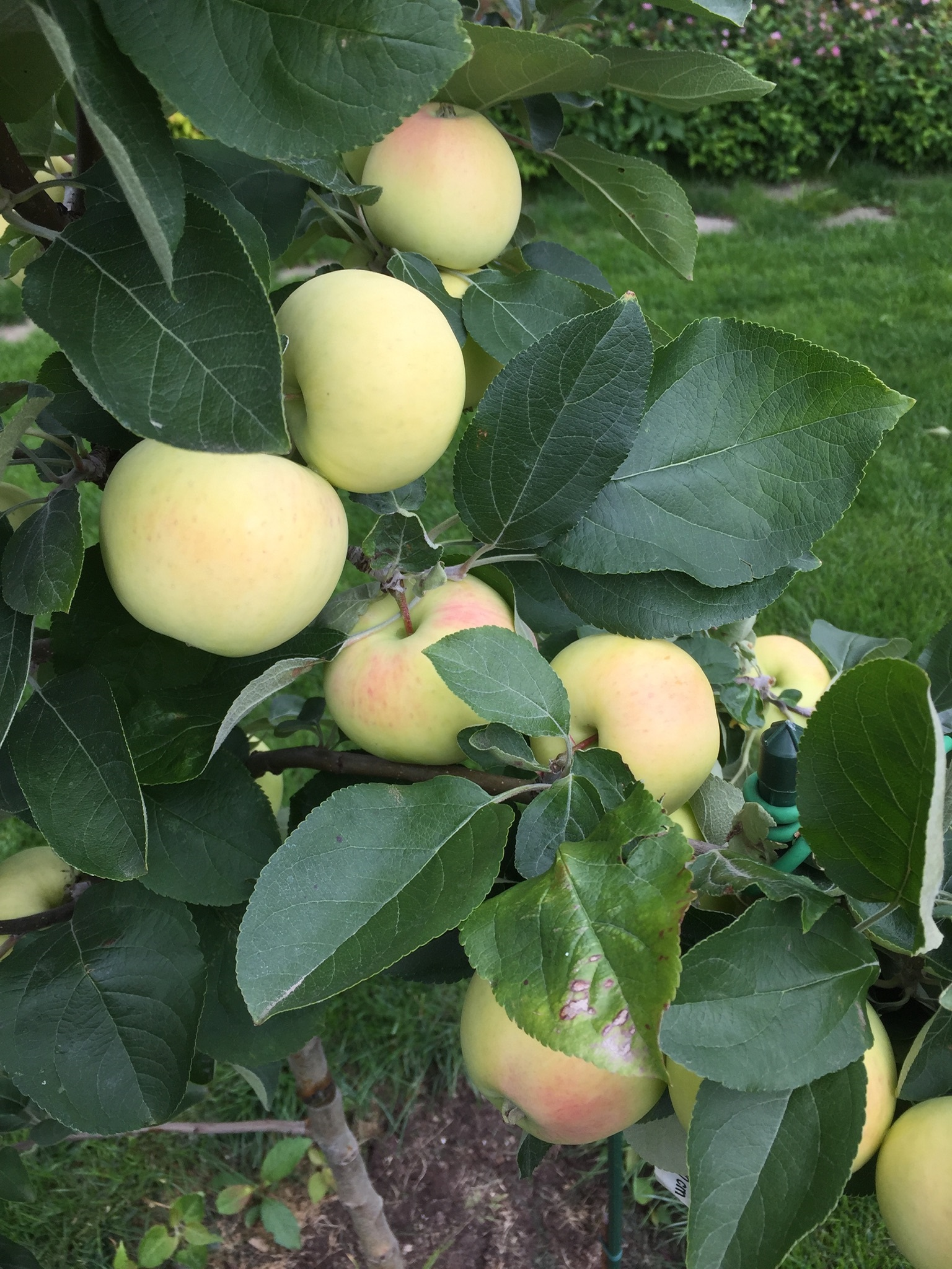 значит, определитель сорта яблок с фото посевы